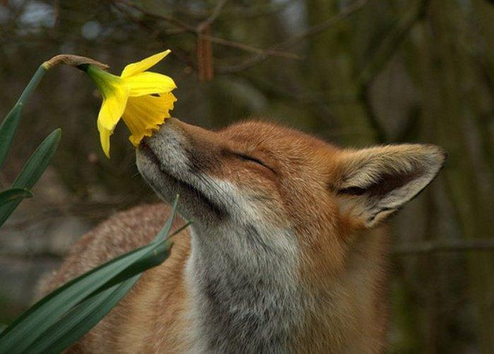 red fox with daffodill